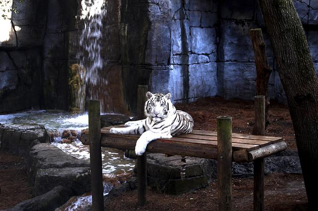 Siberian Tiger, Tampa Zoo, Tampa, Florida