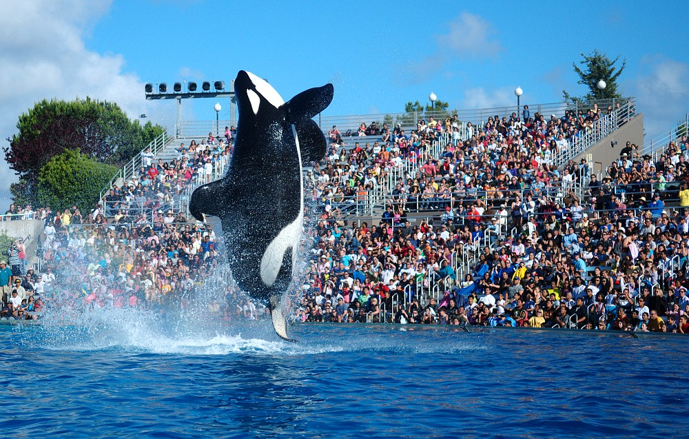 Shamu putting on a show at Seaworld, one of Orlando's theme parks!